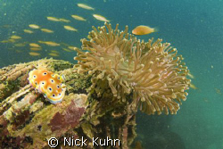 Nudi posing just right with anemone on Sunken Boat Reef a... by Nick Kuhn 